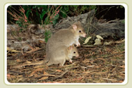 Bettong and Joey