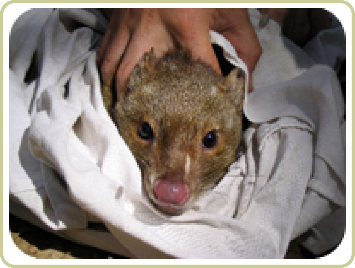 Quoll being processed