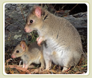 Tasmanian Bettong and Joey