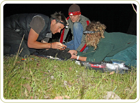Will radiocollaring a bettong